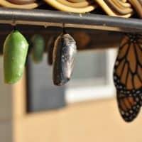 Veränderung von Raupe zu Schmetterling